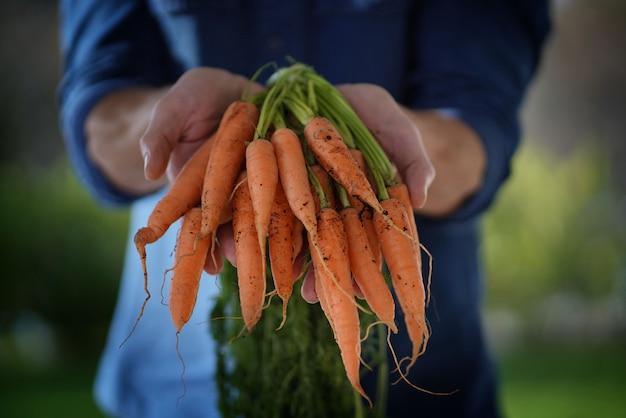 Schließen sie oben von den händen des lokalen landwirts, die organische karotten halten