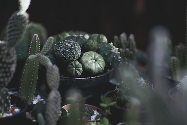 Schließen sie oben von den kaktuspflanzen im topf