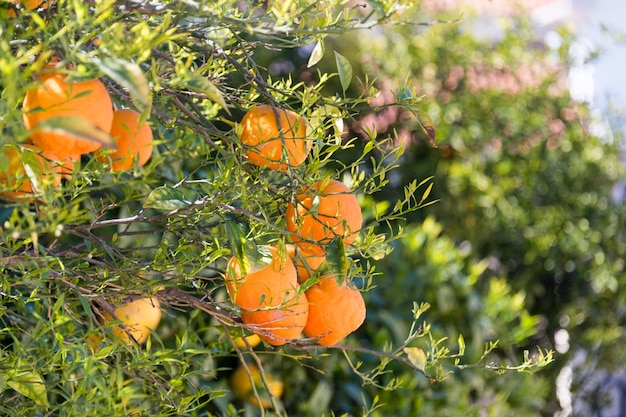 Schließen sie oben von den orangenbäumen im garten, selektiver fokus. reife orangen, die am orangenbaum hängen