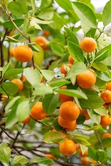 Schließen sie oben von den reifen ogange-mandarinenfrüchten, die auf dem baum wachsen