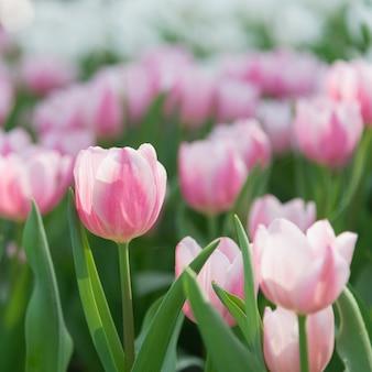Schließen sie oben von den rosa tulpen im garten