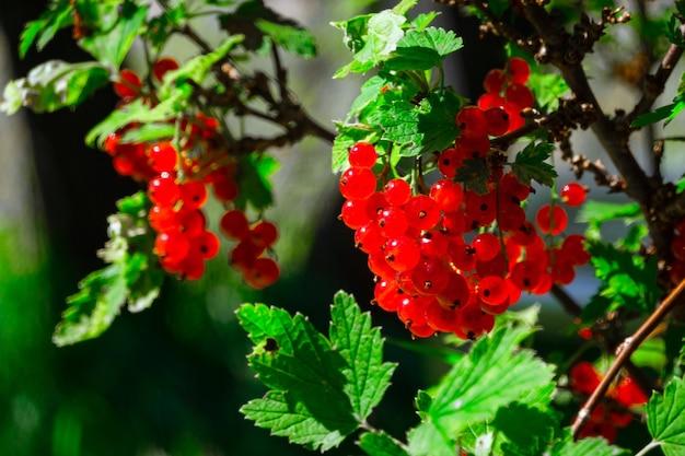 Schließen sie oben von den roten johannisbeeren, die an einem zweig draußen an einem sonnigen tag hängen.