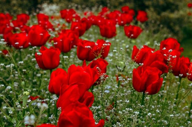 Schließen sie oben von den roten tulpenknospen auf dem gebiet der blühenden tulpen