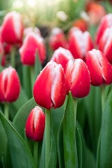 Schließen sie oben von den roten tulpenknospen, die bereit sind, unter frischem grünem blattblumenfrühlingshintergrund zu blühen