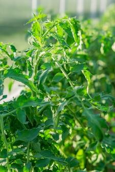 Schließen sie oben von den tomatenpflanzen, die im gewächshaus wachsen