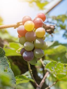 Schließen sie oben von den trauben mit grünen blättern auf der rebe. weinrebefruchtanlagen draußen.