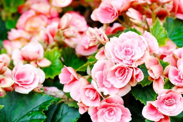 Schließen sie oben von der begonienblume, die in der gartenfrühlingsnatur im freien blüht