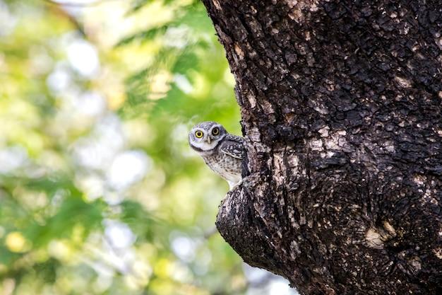 Schließen sie oben von der beschmutzten jungen eule (athene brama) betrachtend in der natur