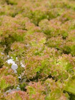 Schließen sie oben von der blattkopfsalat-gemüseplantage der roten koralle