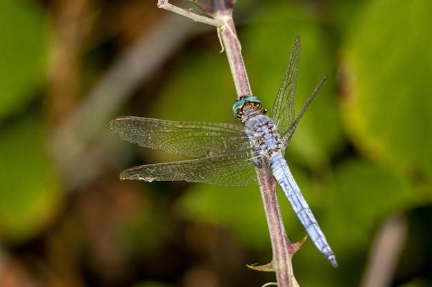 Schließen sie oben von der blauen libelle auf pflanze