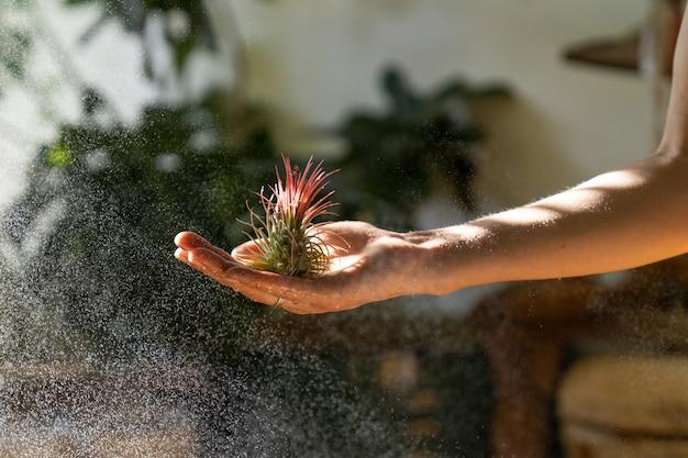 Schließen sie oben von der floristin der frau, die in ihrer nassen hand hält und luftpflanze sprüht