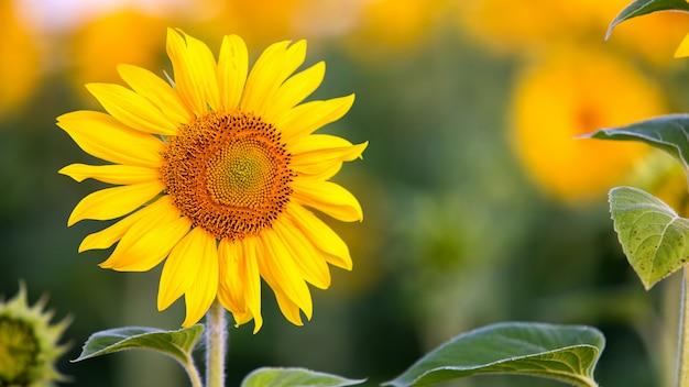Schließen sie oben von der gelben sonnenblume im grünen sommerfeld.