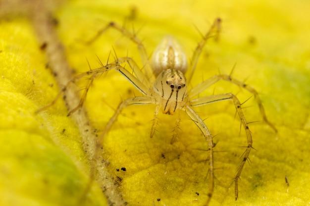 Schließen sie oben von der gelben springenden spinne oder von der birmanischen luchs-spinne auf dem gelben blatt