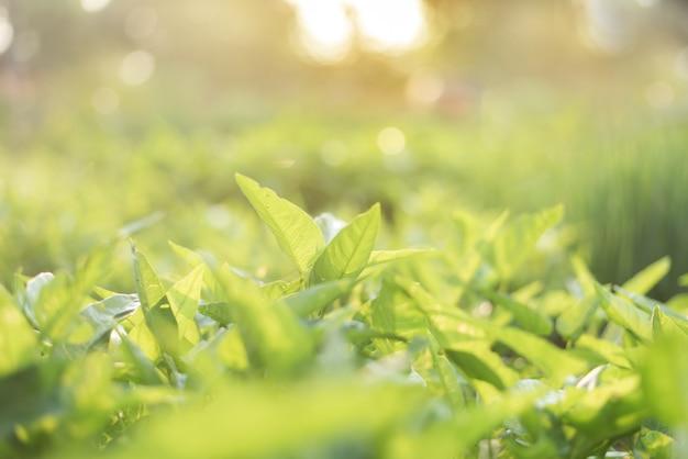 Schließen sie oben von der grünen blattansicht der natur im organischen gemüsebauernhof mit sonnenlicht