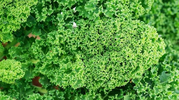 Schließen sie oben von der grünen grünkohlanlage in einem gemüsegarten.