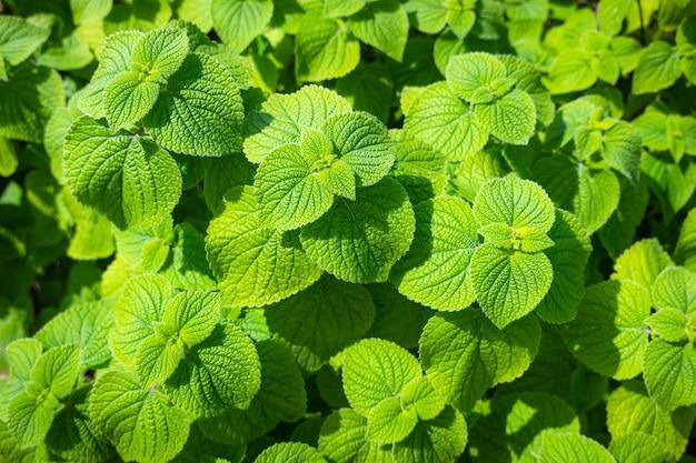 Schließen sie oben von der grünen minzpflanze im garten an einem sonnigen tag.