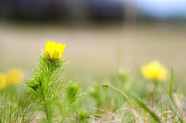 Schließen sie oben von der kleinen gelben wilden blume, die im grünen frühlingsfeld blüht.