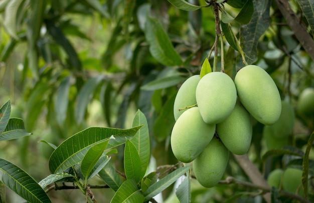 Schließen sie oben von der mangofrucht auf dem mangobaum