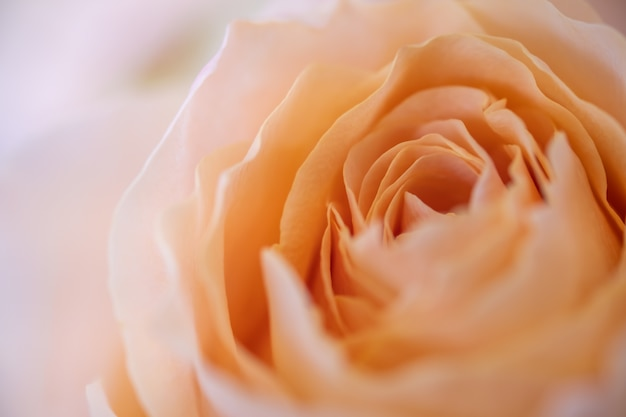 Schließen sie oben von der orangenrosenblume.
