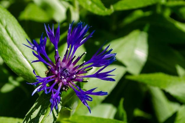 Schließen sie oben von der schönen blauen centaurea montana gefiederten blume