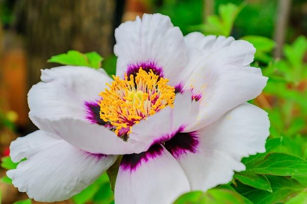 Schließen sie oben von der schönen blühenden weißen baumpfingstrose im garten an einem sonnigen tag.