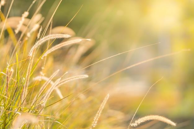 Schließen sie oben von der schönen naturansicht-grasblume auf unscharfem grünhintergrund unter sonnenlicht mit bokeh und kopieren sie raum, der als hintergrund natürliche pflanzenlandschaft, frisches ökologietapetenkonzept verwendet.