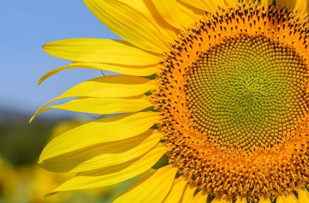 Schließen sie oben von der sonnenblume am sonnenblumenfeld in der provinz lop buri, thailand