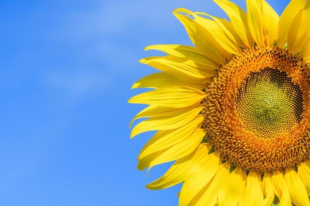 Schließen sie oben von der sonnenblume auf blauem hintergrund am sonnenblumenfeld