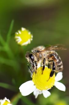 Schließen sie oben von der wilden biene, die auf einer kamillenblume sitzt. polunation der kamillenpflanze mit einer arbeiterbiene.