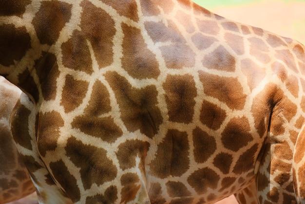 Schließen sie oben von der wirklichen giraffenhaut der tierwild lebenden tiere Premium Fotos