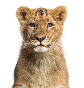 Schließen sie oben von einem löwenjungen, der die kamera betrachtet
