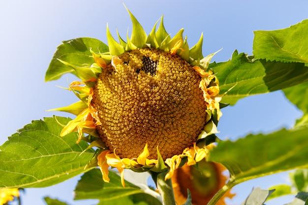 Schließen sie oben von einem reifen sonnenblumen (helianthus annuus) vor der ernte in sonnigem tag gegen blauen himmel