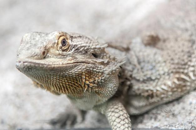 Schließen sie oben von einem selektiven fokus des harmlosen reptils des leguans