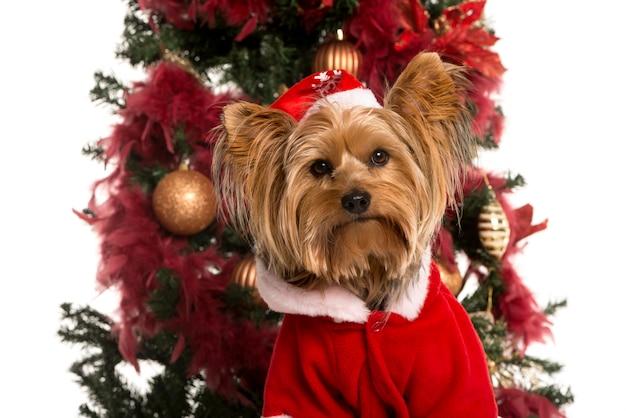 Schließen sie oben von einem yorkshire terrier, der vor einem weihnachtsbaum gekleidet wird