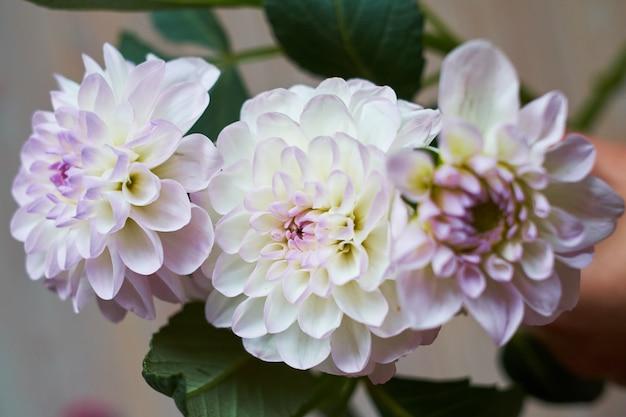 Schließen sie oben von einer beige und rosa dahlienblume