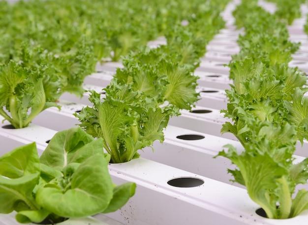 Schließen sie oben von fillie iceburg-blattsalat-gemüseplantage