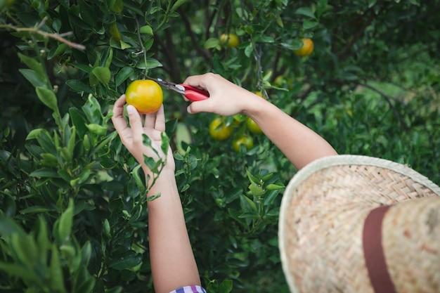 Schließen sie oben von gärtnerhand, die eine orange mit schere im orangenfeldgarten in der morgenzeit pflückt.