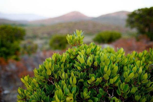 Schließen sie oben von grünen pflanzen auf korsika-insel, frankreich, gebirgslandschaftshintergrund. horizontale ansicht.