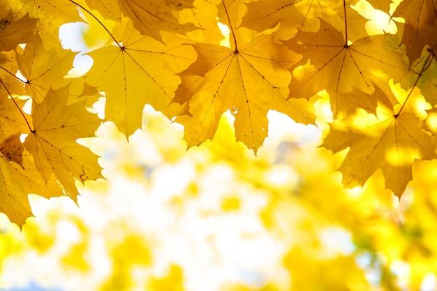 Schließen sie oben von hellen gelben und roten ahornblättern auf herbstbaumzweigen mit lebendigem unscharfem hintergrund im herbstpark.