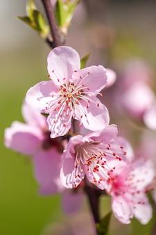 Schließen sie oben von rosa pfirsichblütenblüten auf ast. frühlingszeit.