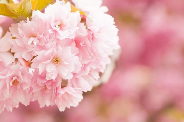 Schließen sie oben von schönen rosa kirschblüte-blumen morgens. kirschblüte