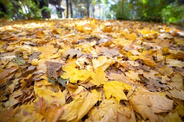 Schließen sie oben von vielen gefallenen gelben blättern, die den boden im herbstpark bedecken.