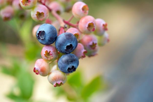 Schließen sie reife frische bio-blaubeeren auf den büschen