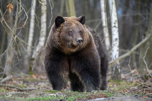 Schließen sie wildes großes braunbärenporträt im wald. gefahr tier im naturlebensraum.