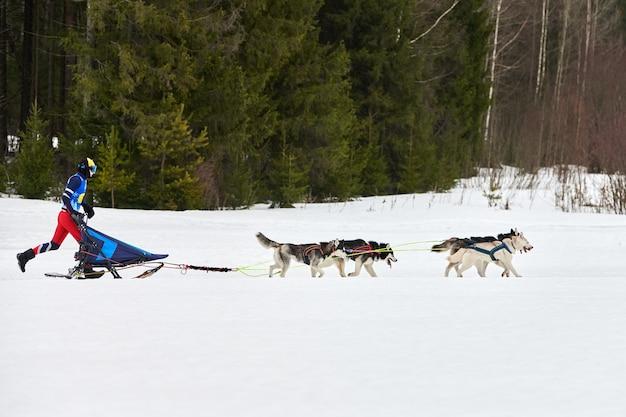Schlittenhunde ziehen musher auf ski