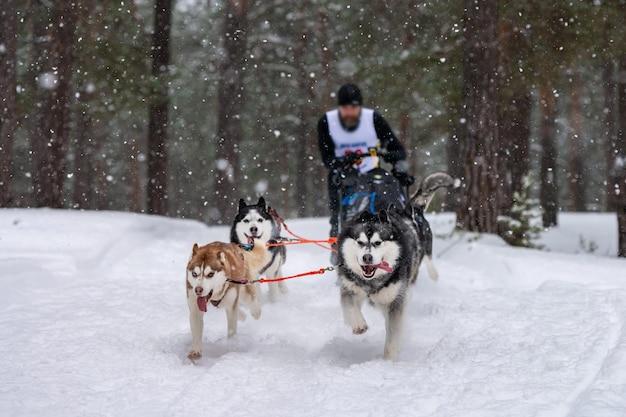 Schlittenhunderennen. das team der husky-schlittenhunde zieht einen schlitten mit hundemusher. winterwettbewerb.