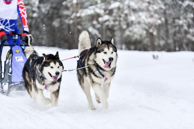 Schlittenhunderennen. husky-schlittenhunde ziehen einen schlitten mit hundemusher. winterwettbewerb.