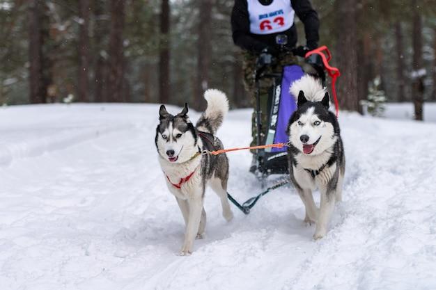 Schlittenhunderennen. husky schlittenhundeteam im geschirr laufen und hundefahrer ziehen. wintersport-meisterschaftswettbewerb.
