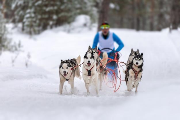 Schlittenhunderennen. husky schlittenhundeteam zieht einen schlitten mit hundemusher. winterwettbewerb.