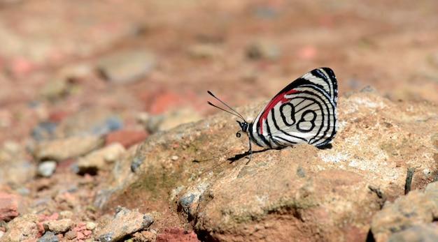 Schmetterling achtundachtzig frisst auf dem boden
